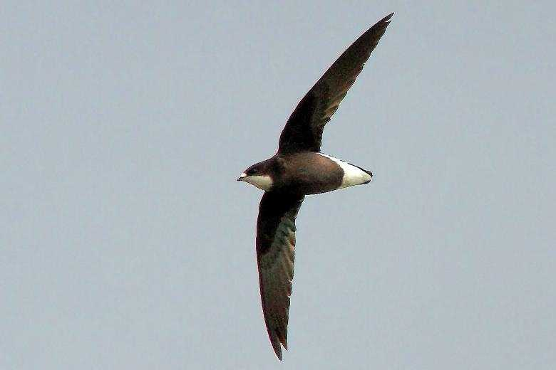 The White-throated needletail