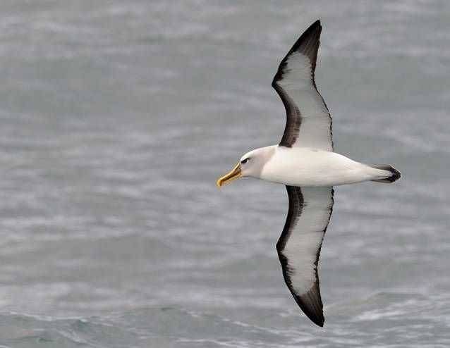 The Grey-headed albatross