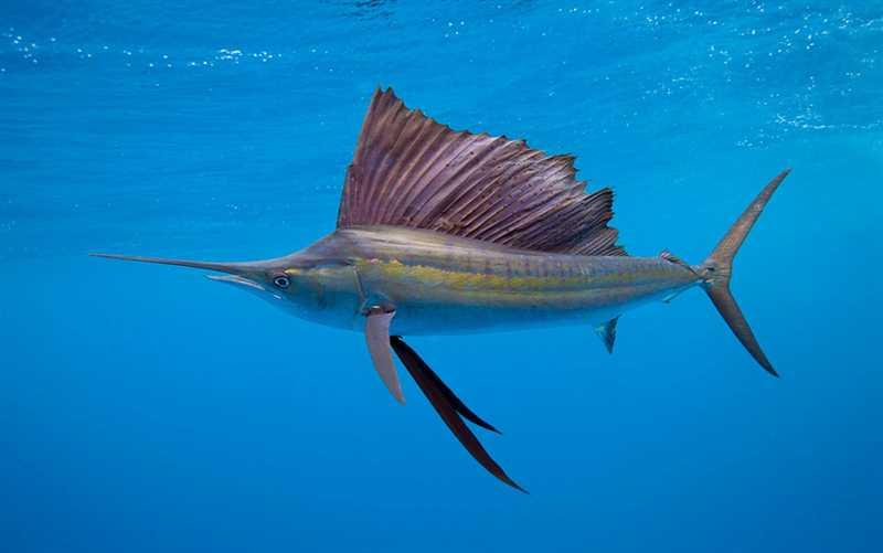 The Sailfish