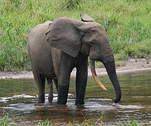 3. African forest elephant