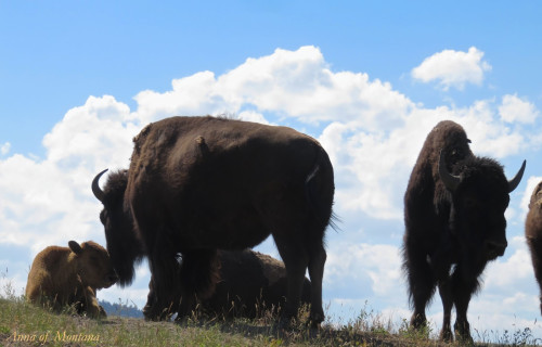 National Bison Range Wildlife & Gorgeous Vistas of Spectacular, Unspoiled Nature!