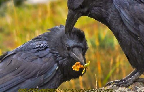 The Softer Side of Ravens near Bear Spirit Lodge Bed & Breakfast