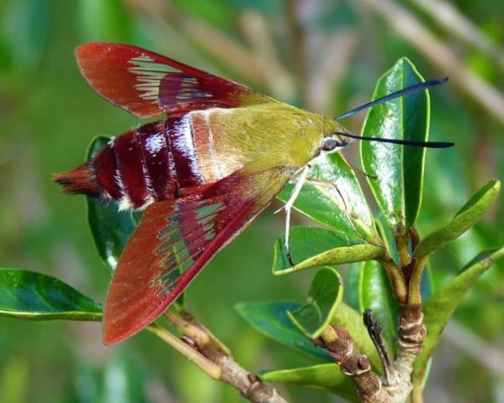 The Hummingbird Clearwing Moth