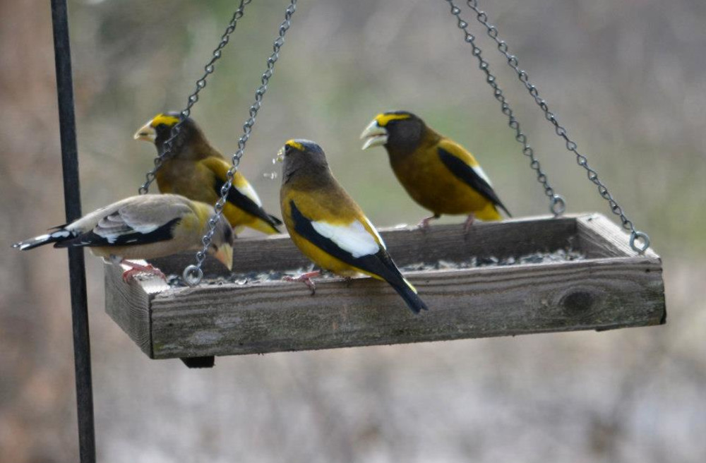 Birding in and near the gardens of the Old Parkdale Inn