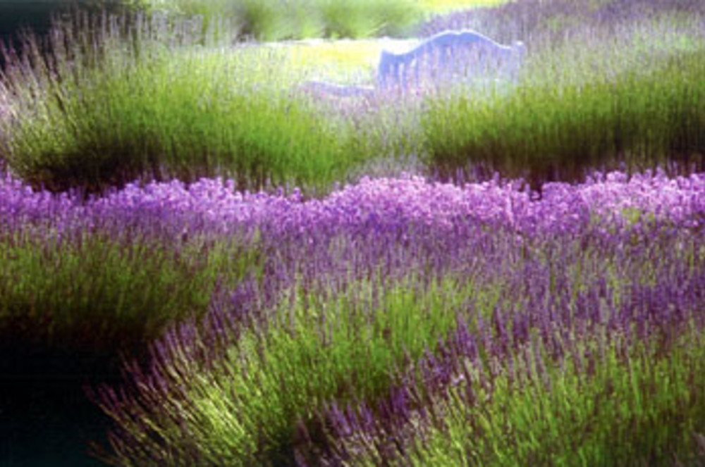 Day 5: Lavender farms (5-20 minutes from Dungeness Spit)