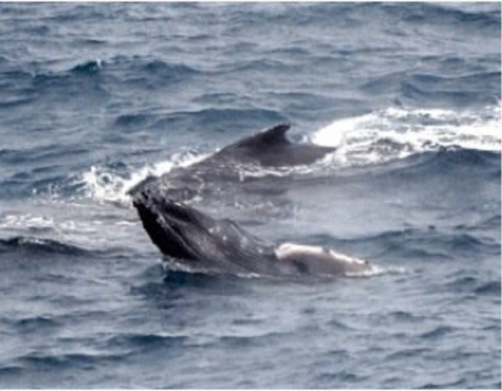 Whales Entertain on Valentines Day 2010