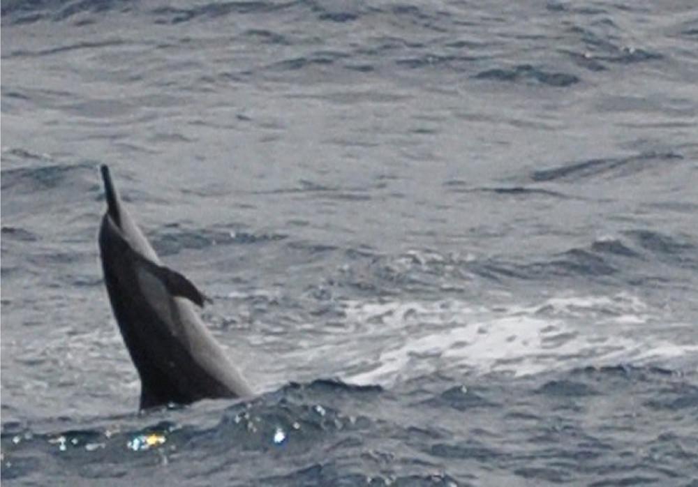 Dolphin Frolic In Pohakumanu Bay