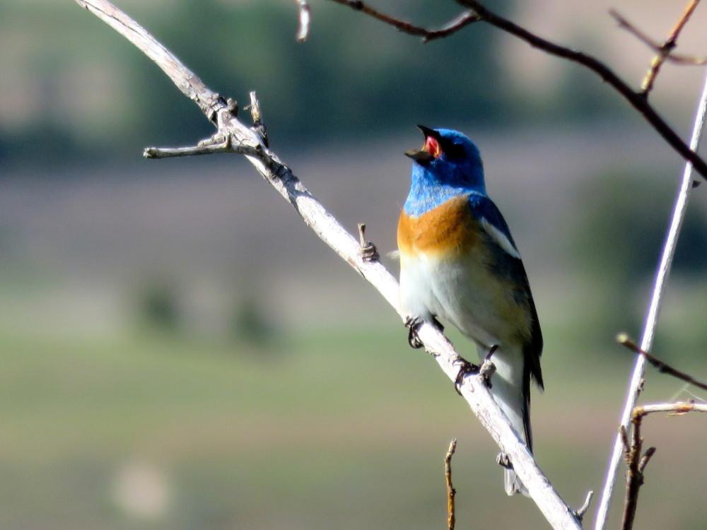 Western Bluebirds at the National Bison Range near Bear Spirit Lodge