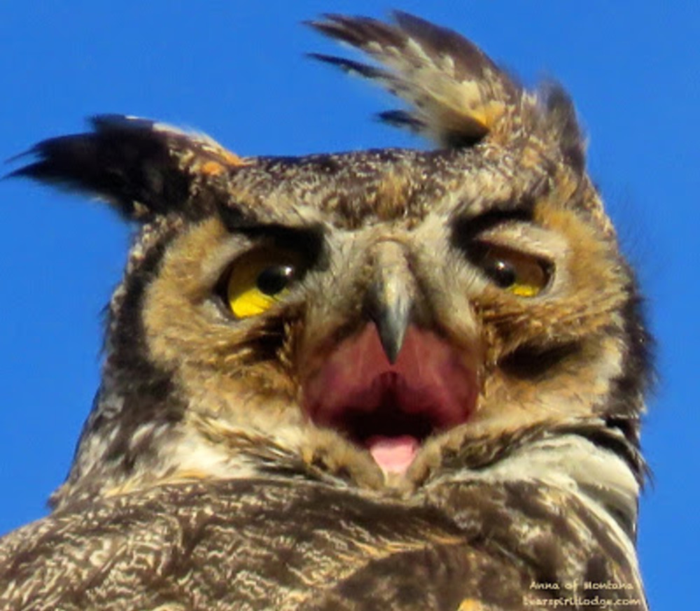 Great Horned Owls near Bear Spirit Lodge B&B