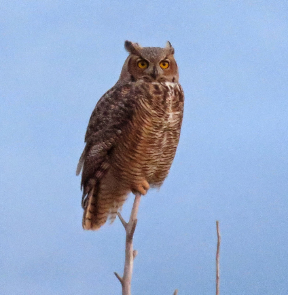 Great Horned Owls of Mission Valley Montana