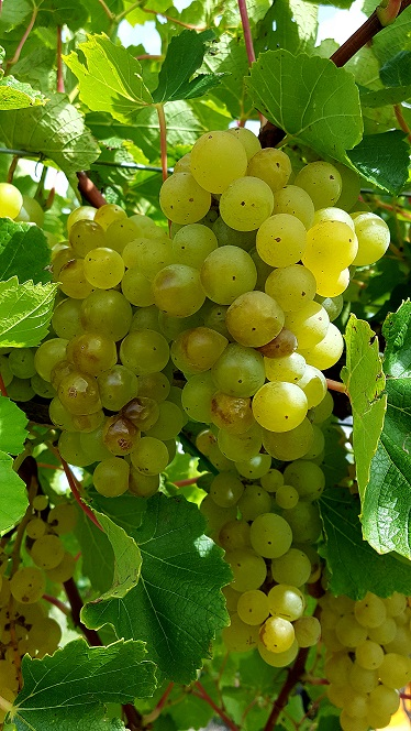 Have Some Madeira, M'Dear: Washington County Sees First Mechanical Grape Harvester