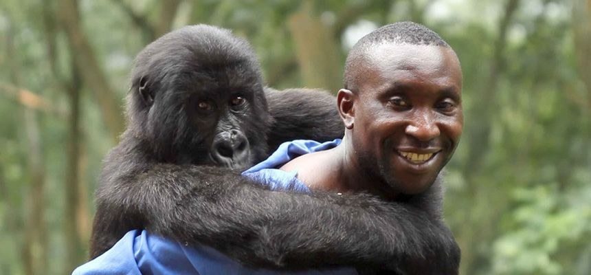 Orphan gorilla from the Senkwekwe Center, Virunga National Park, Congo