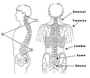 Curvaturas da coluna vertebral vinculadas com dor na costa
