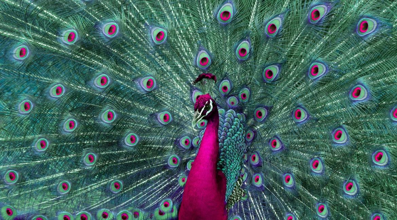 peacock-1-1170-650_pwzogj