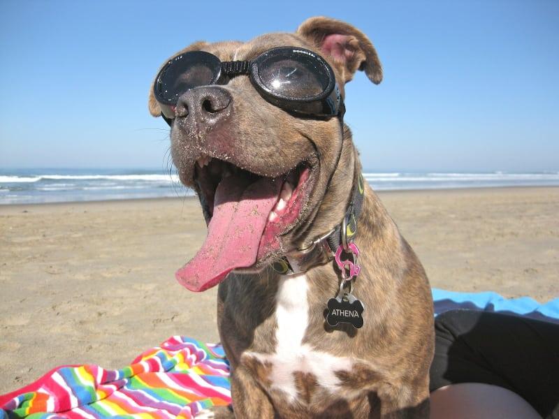 Pies w okularach ochronnych