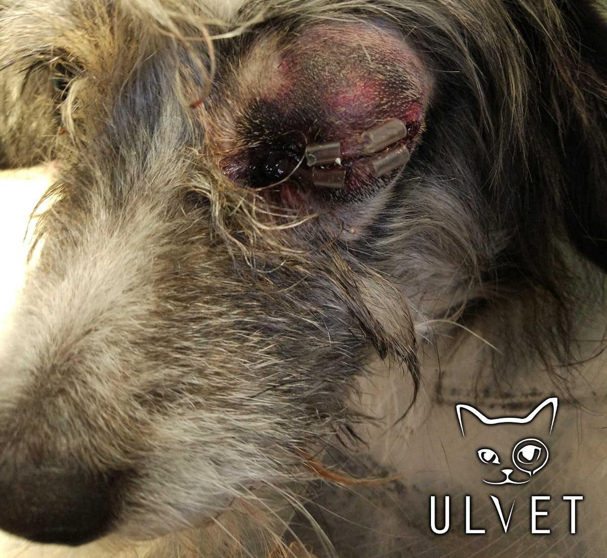 Felek - po zabiegu repozycji gałki ocznej