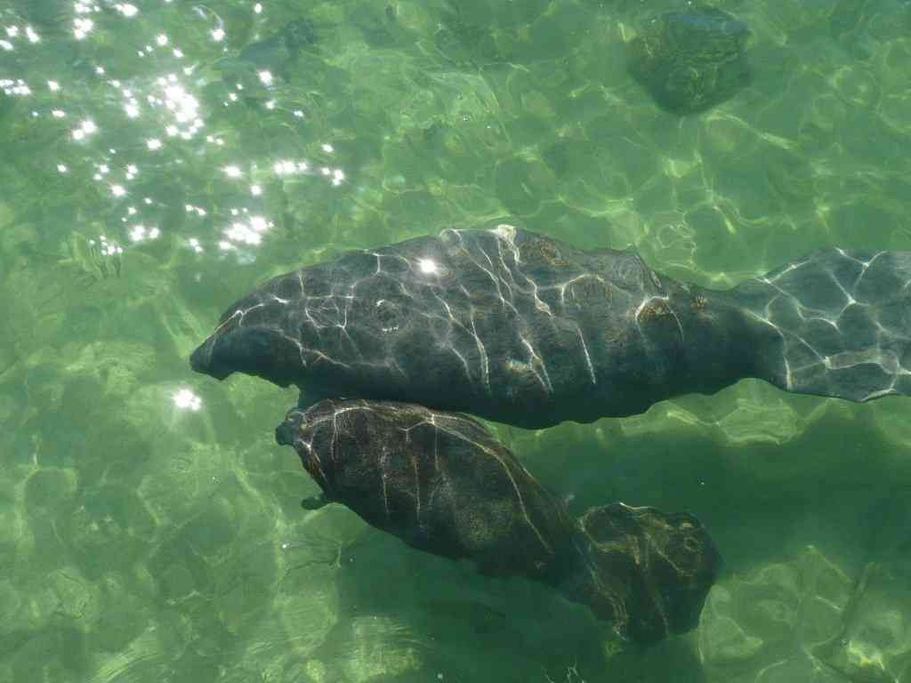 Manatees Move Into Shallow Island Waters