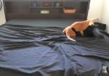 Video: El desafío de hacer la cama con gatos juguetones