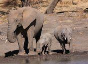 Google crea mapas para cuidar a los elefantes africanos