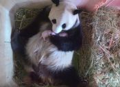 Osa panda tiene gemelos