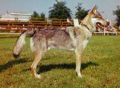 Conoce más de los perros lobos checoslovacos