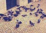 Peruanos serán multados por alimentar a las palomas