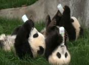El Trabajo más Feliz del Mundo es ser Niñera de Bebés Panda, y Estos Videos lo Prueban