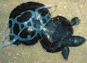 Conoce la historia de la tortuga que quedó con forma de maní