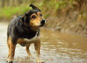 Perros callejeros quedan atrapados en la rivera del río Mapocho