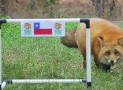 Zincha, el Zorro Rojo de Buin Zoo, pronostica resultado Chile-Ecuador