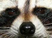 [Fotos] Revuelo causó un mapache muerto en Toronto