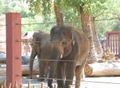 Muerte de Elefante en Zoo de Oklahoma se suma a Lista de Muertes Prematuras de Elefantes en Cautiverio