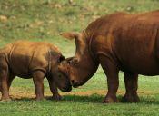 Tiñen cuernos de rinocerontes para impedir su caza