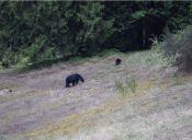 [Video] Mira a este extraño osos azul