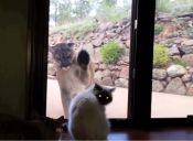 [Video] Un gato se enfrenta a un puma