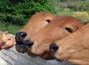 Vacas son sociables, juegan y les gusta la música (videos)