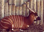 Nabul es el nuevo huésped del Zoológico Matropolitano