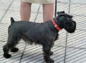 La batalla de los collares de perros ya se inició en Estados Unidos