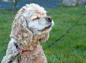 Los perros que detectan enfermedades pueden más efectivos que otros exámenes