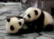 Dos cachorros de panda gigante nacieron en Washington