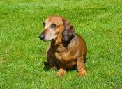 [Video] Un perro salchicha dejó abandonado a su mejor amigo
