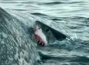 [Video] Cinco tiburones se comen el cadáver de una ballena