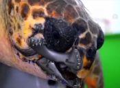 [Video] Tortuga recibe implantes gracias a impresora 3D