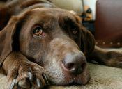 """Perro llamado """"Gatillo"""" dispara accidentalmente a su dueña"""