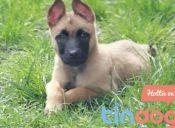 Conoce Tindog, la aplicación para buscar pareja para tu mascota