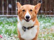 Whistle, el collar inteligente que monitorea a tu perro