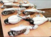 Desbaratan cruel banda que pretendía vender halcones peregrinos a jeques árabes