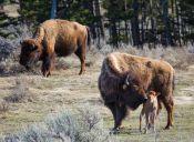 Cría de bisonte debió ser sacrificada por imprudencia de turistas