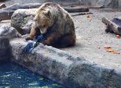 Este oso rescatista le salvó la vida a un cuervo que se ahogaba