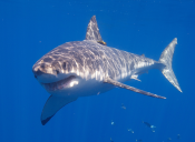 [Video] Registran al tiburón blanco más grande del mundo